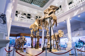 "Bucharest, Romania - Dec 15, 2019: Exhibition in the ""Grigore Antipa"" National Museum of Natural History in Bucharest, Romania. The deinotherium giganteum fossil on display i"