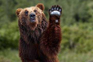 Brown bear Japan