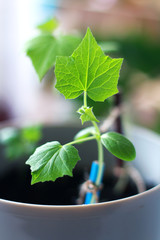 sprout with leaves sprouted from a cucumber seed in a pot