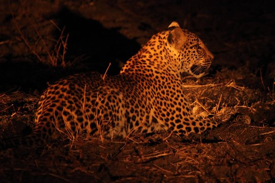 The African leopard (Panthera pardus pardus) female have a rest before the hunt. Hunting African Leopard with open mouth.