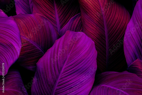 Wall mural leaves of Spathiphyllum cannifolium, abstract colorful texture, nature background, tropical leaf