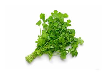 Fresh raw cilantro bunch isolated white background. Organic cilantro closeup
