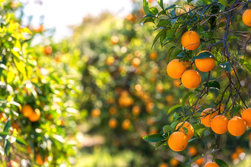 Orange garden in sunlight with ripe orange fruits on the sunny trees and fresh green leaves. Mediterranean natural agricultural background Fotomurales