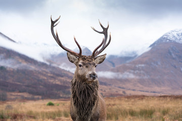 Poster Hert Monarch Of The Glen