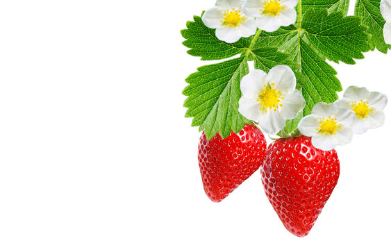 garden strawberry plant witch ripe red berries on white