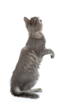 Adult cat stands on hind legs in back view and looks up. isolated on white background