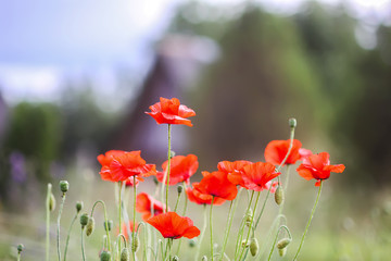 Photo sur Toile Poppy Field of red poppy flowers. Papaver somniferum