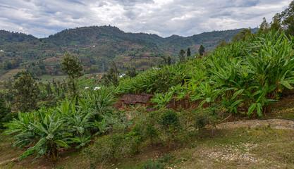 Bananas plantation in Rwanda.