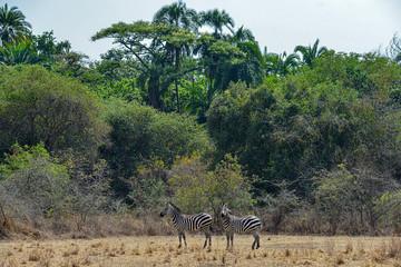 Zebras in Akagera National Park in Rwanda. Akagera National Park covers 1,200 km in eastern Rwanda, along the Tanzanian border.