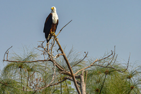African Fish Eagle sitting in the trees in Akagera National Park, Rwanda.