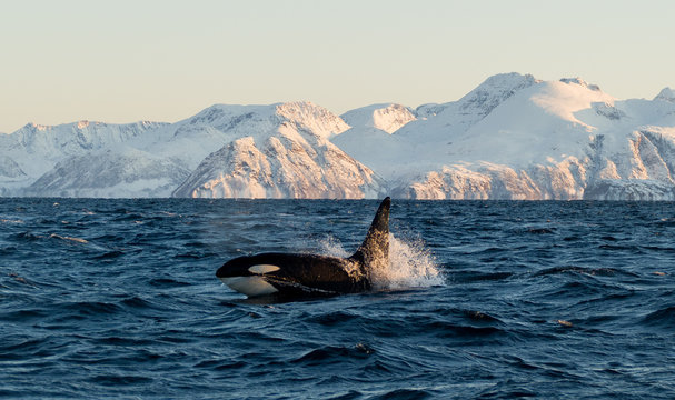 Orca / Killer Whale of Norway - Lofoten
