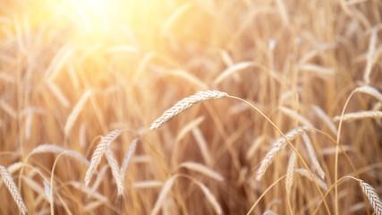 Printed kitchen splashbacks Beige Ears of golden wheat closeup. Wheat field. Beautiful agriculture background