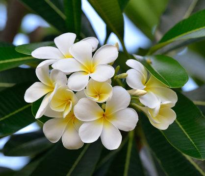 White frangipani or white plumeria flowers on tree