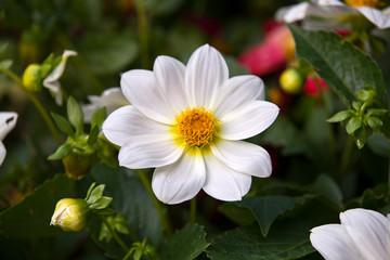 Beautiful white dahlia minion in summer garden