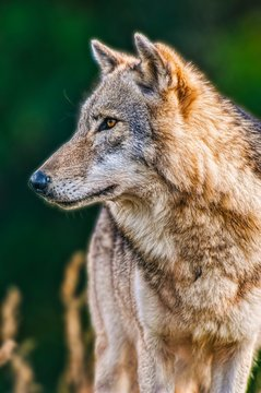 portrait of a handsome wolf