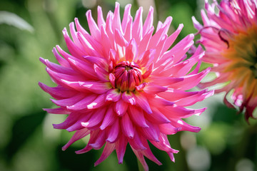 Cadres-photo bureau Dahlia Detailed close up of a beautiful purple