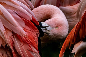 Foto auf Leinwand Flamingo a pink flamingo grooming its feathers