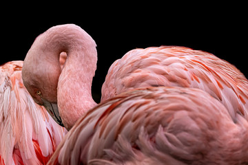 fine art photo of a pink flamingo