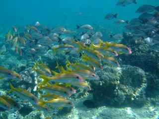 Fotobehang Koraalriffen Mixed shoal of yellowfin goatfish (Mulloidichthys vanicolensis) (front) and humpback snapper (Lutjanus gibbus) (rear), Borneo