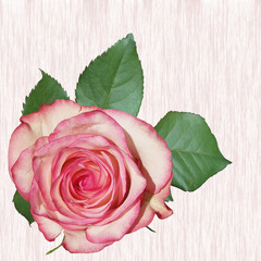 Fototapete - Beautiful pink rose isolated on abstract background