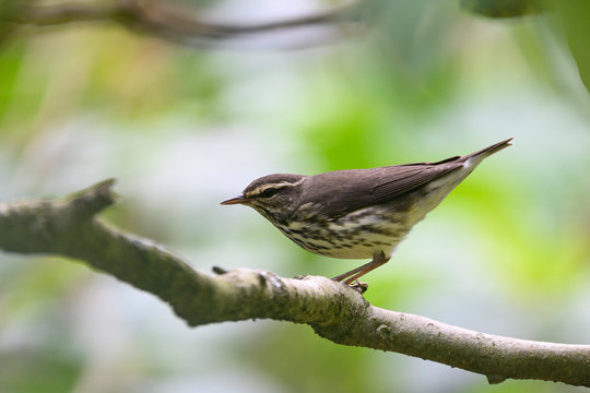 Northern Waterthrush (Parkesia noveboracensis)