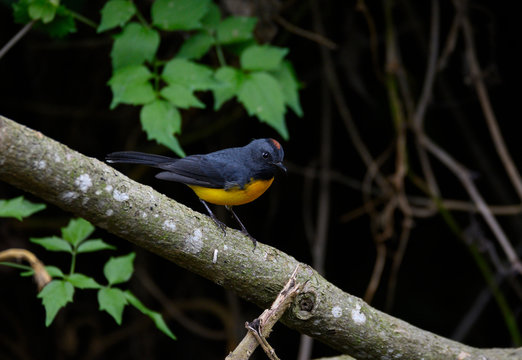 Slate-throated Redstart (Myioborus miniatus)
