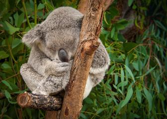 Canvas Prints Cute sleeping koala on eucalyptus branches