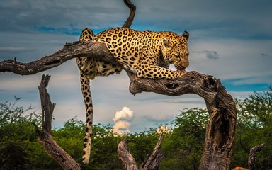 Foto op Plexiglas Luipaard leopard on tree