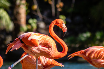 In de dag Flamingo Caribbean flamingo
