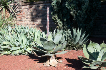 Sydney Australia, large unidentified agave plant with pink flower spike emerging in succulent garden