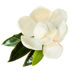 Photo sur Aluminium Magnolia Magnolia Flower Isolated on White Top View