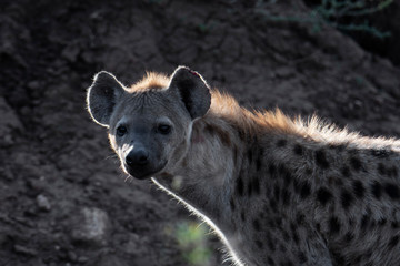Photo sur Plexiglas Hyène beautiful wild hyena in Serengeti National Park, Tanzania