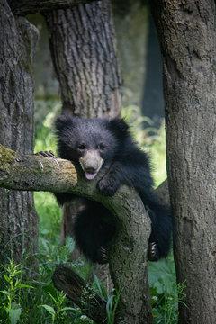Sloth bear cub on a tree. Melursus ursinus.