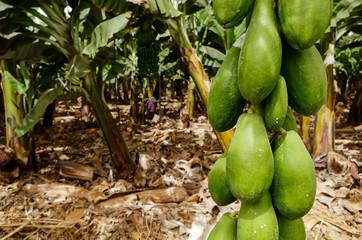organic green papaya on tree