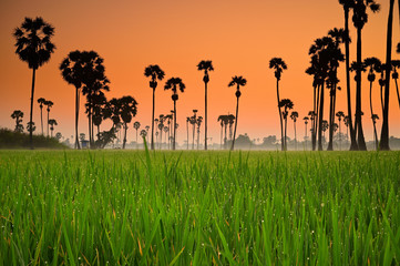 In de dag Oranje eclat Silhouette Sugar Palm trees in the rice fields with sunrise, Pathumthani Thailand and Thai people called