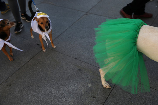 """Dogs in costumes wait for the start of the """"Sanperrestre"""" walk to raise awareness about the need to adopt dogs and cats instead of purchasing them, in Madrid"""