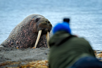 Wildlife photographer in the Arctic. Walrus on the sand beach. Detail portrait of Walrus with big white tusk, Odobenus rosmarus, big animal in nature habitat on Svalbard, Norway. Man with camera.