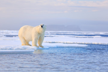 Self adhesive Wall Murals Polar bear Two polar bears with killed seal. White bear feeding on drift ice with snow, Manitoba, Canada. Bloody nature with big animals. Dangerous baer with carcass. Arctic wildlife, animal food behaviour.