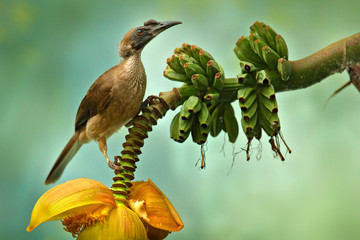 Helmeted friarbird, Philemon buceroides,  beautiful bird sitting on the banana tree in the green forest, Indonesia in Asia. Friarbird in the nature habitat, wildlife scene from nature, banana bloom.