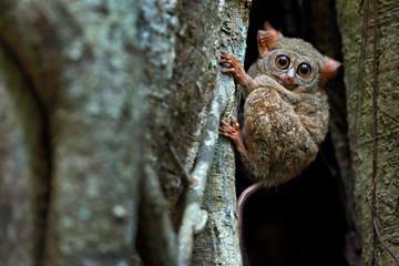 Spectral Tarsier, Tarsius spectrum, portrait of rare nocturnal animal, in the nature habitat, large ficus tree, Tangkoko National Park, Sulawesi, Indonesia, Asia. Wildlife scene from nature.