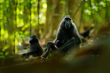 Monkey in dark forest. Celebes crested Macaque, Macaca nigra, sitting in the nature habitat, wildlife from Asia, nature of Tangkoko on Sulawesi, Indonesia. Rare animal in the forest.