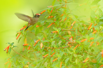 Blossomcrown Anthocephala floriceps, hummingbird, in red bloom flower garden, Santa Marta in Colombia. Bird fly in the nature habitat. Wildlife in Colombia, Blossomcrown flight. Red and green.