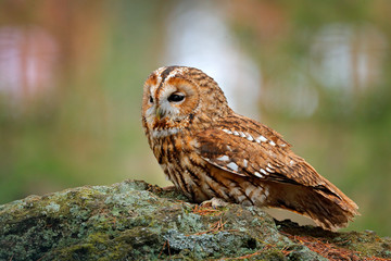 Fototapete - Tawny owl sitting on the stone n forest. Clear green background. Beautiful animal in the nature. Bird in the Sweden forest. Wildlife scene from dark spruce tree. Mystic bird in habitat.