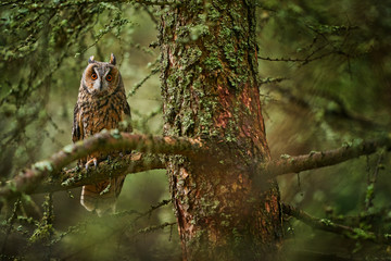 Wall Mural - Owl in the forest habitat. Long-eared Owl sitting on the branch in the fallen larch forest during autumn. Beautiful lichen tree with owl, Slovakia. Autumn wildlife.