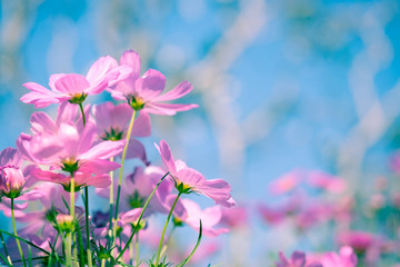 Fond de hotte en verre imprimé Univers Selective soft focus of Beautiful pink cosmos flower field in outdoor floral garden meadow background with sunlight. Colorful cosmos flower blooming nature in winter spring season.