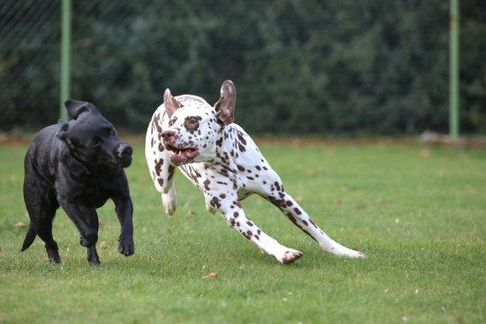 Labrador und Dalmatiner spielen zusammen auf einer Wiese
