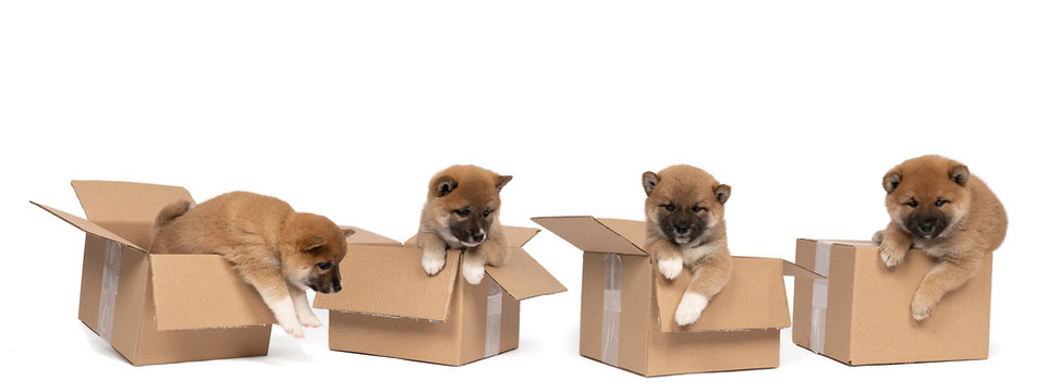 Four Shiba Inu puppies sitting in a cardboard box isolated in a white background
