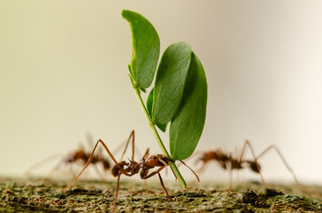 Self adhesive Wall Murals Macro photography leaf cutter ant macro