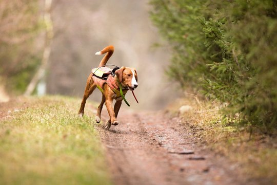 a hunting dog chasing probably a wild boar