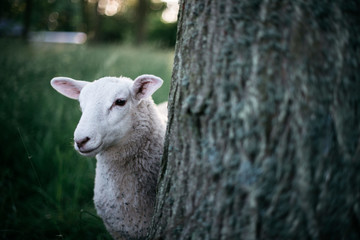 Lamb standing behind tree trunk